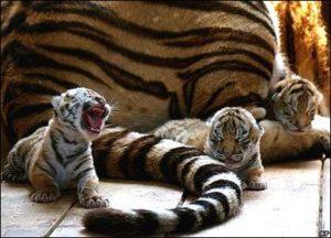 赤ちゃん虎たち