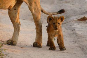 小さい子ライオン