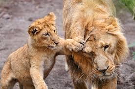 ちょっかいを出す子ライオン