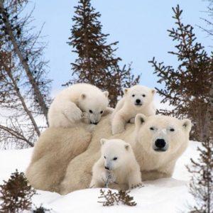 親に甘える子熊たち