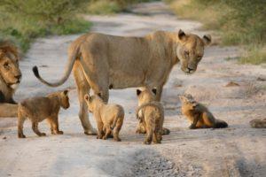 子ライオンを引き連れるお母さん
