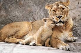 甘える子ライオン