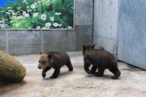 歩き回る子熊