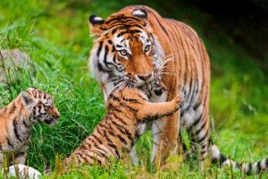 親に飛びつく小虎