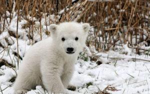 ぬいぐるみのような白熊