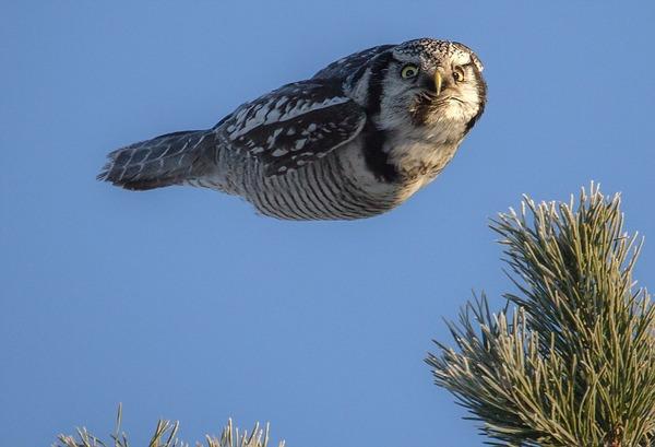 羽ばたかずに飛ぶフクロウ