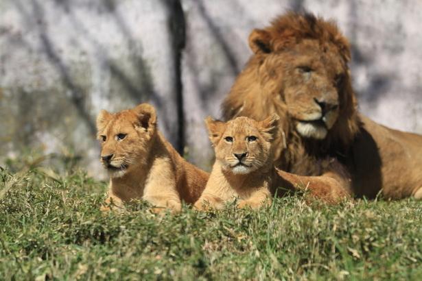 草原に横たわるライオン親子