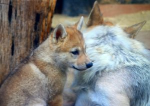 親に寄り添う子狼