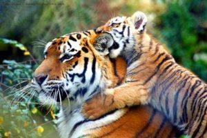 おんぶしている虎の親子