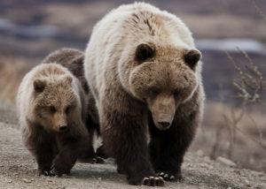 親についていく子熊
