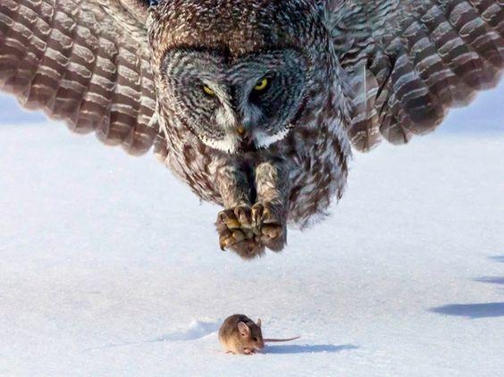 獲物を狙うフクロウ