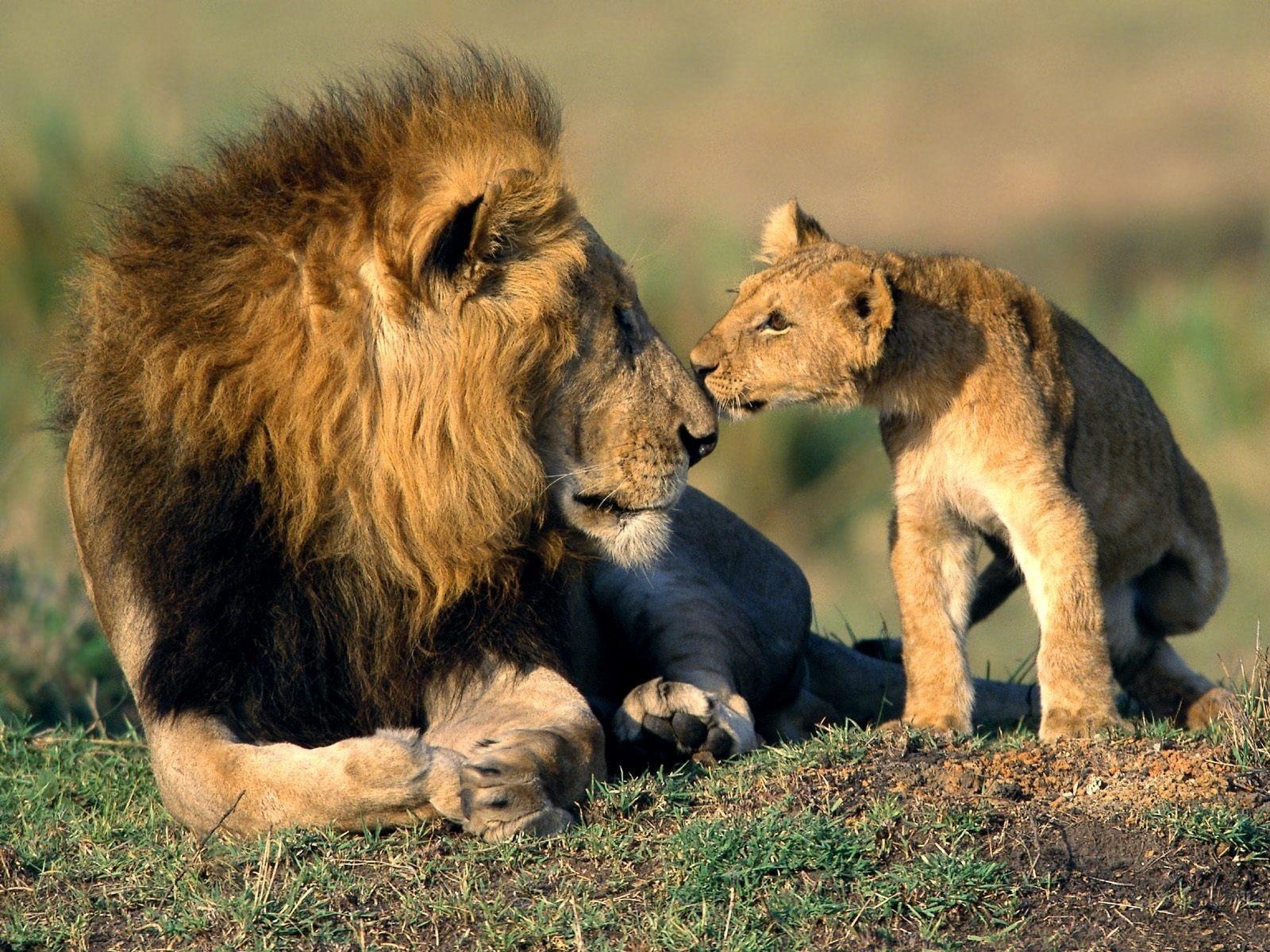 鼻をくっつけるライオン親子