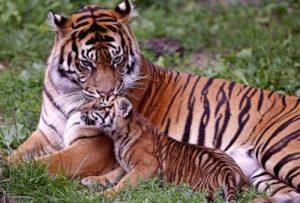 なかよし親子の虎