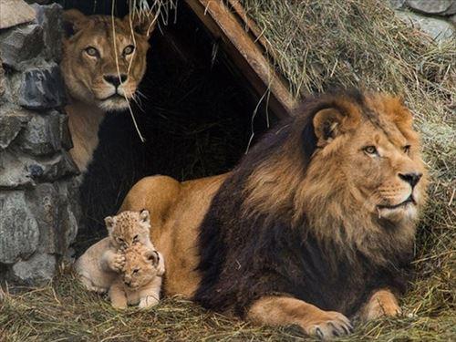 家でくつろぐライオン親子