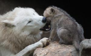 なかよし狼の親子