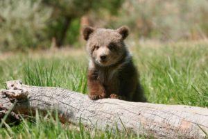 野原の子熊