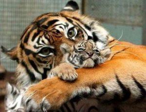腕の中で安心する小虎