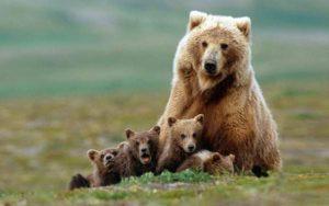 こちらをみる熊の親子