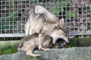 じゃれ合う2匹の狼たち