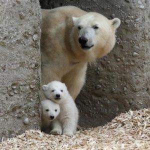 壁から覗く白熊