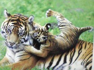 親の背中で遊ぶ小虎