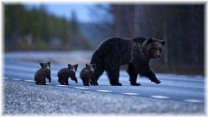 親子で歩く熊の親子