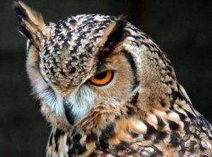 鋭い目線のフクロウ