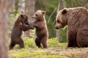 兄弟でじゃれあう子熊