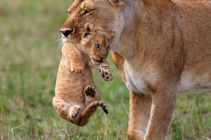 親に運ばれる子ライオン