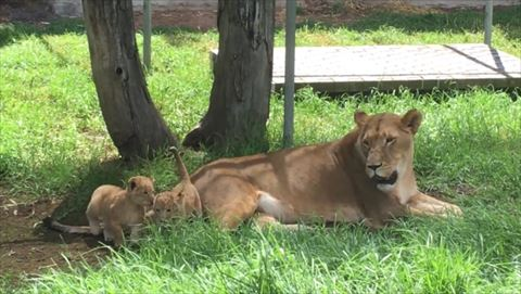 母が見守る子ライオンたち