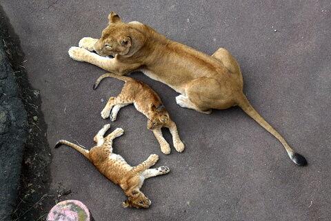 上から見たライオン親子