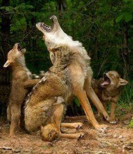 親と一緒に吠える子供の狼