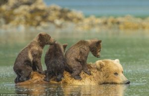 子熊をのせて泳ぐ親熊