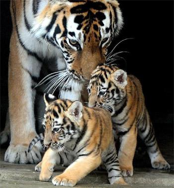 小虎を見守る親虎