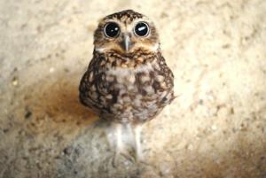 真ん丸の目をしたフクロウ