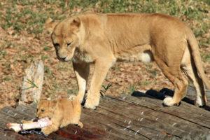 子ライオンをじっと見守る母親