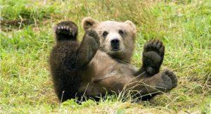 仰向けになる子熊