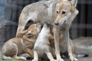 おっぱいをもらう子供の狼