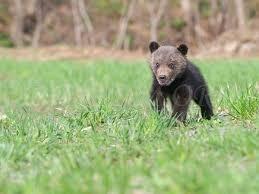 草原を駆ける子熊