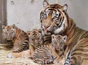 寄り添う虎の親子