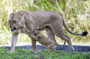 しがみつく子ライオン
