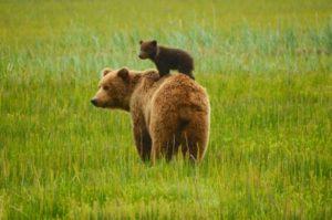 背中に乗る子熊