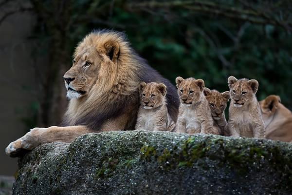 百獣の王!ライオン親子の色々な姿の高画質な画像まとめ