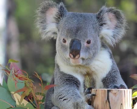おすまし顔がお上品なコアラです。切り株に添えられた前足がなんとも言えません。