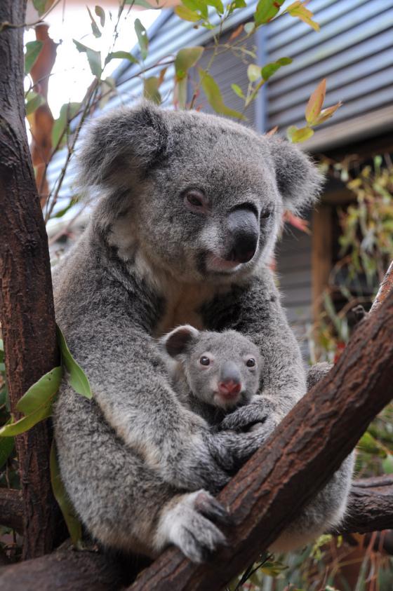 お母さんコアラの袋の中でぬくぬくとしている子供のコアラ。暖かそうですね。お母さんコアラは暖かな視線です。