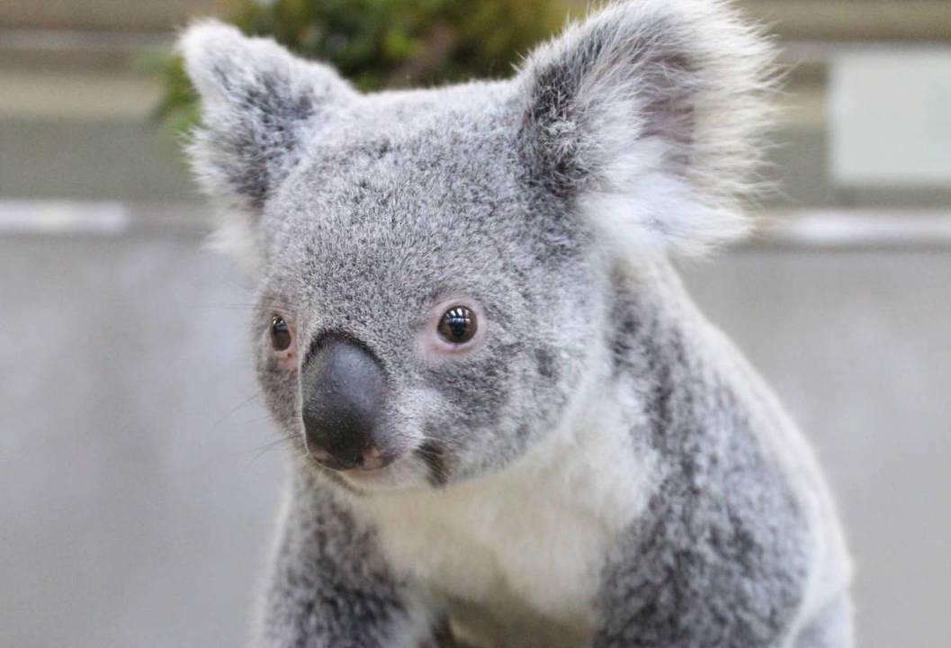 きょとん顔のコアラです。ぱちくりと開いた瞳に口元は少しスマイルしているようにも見えますね。