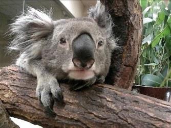 こちらは国内最高齢だったオスのコアラの「アルン」くん。御年19歳です。貫禄がありますね。