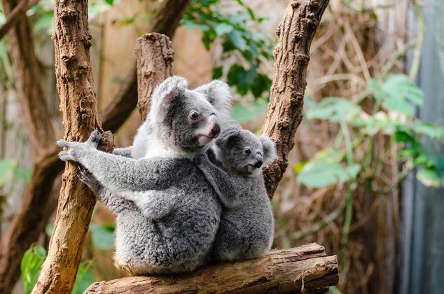 こちらも親子のコアラです。親子そろって同じ方向を凝視しています。餌となるユーカリの葉っぱを見つけたのでしょうか。