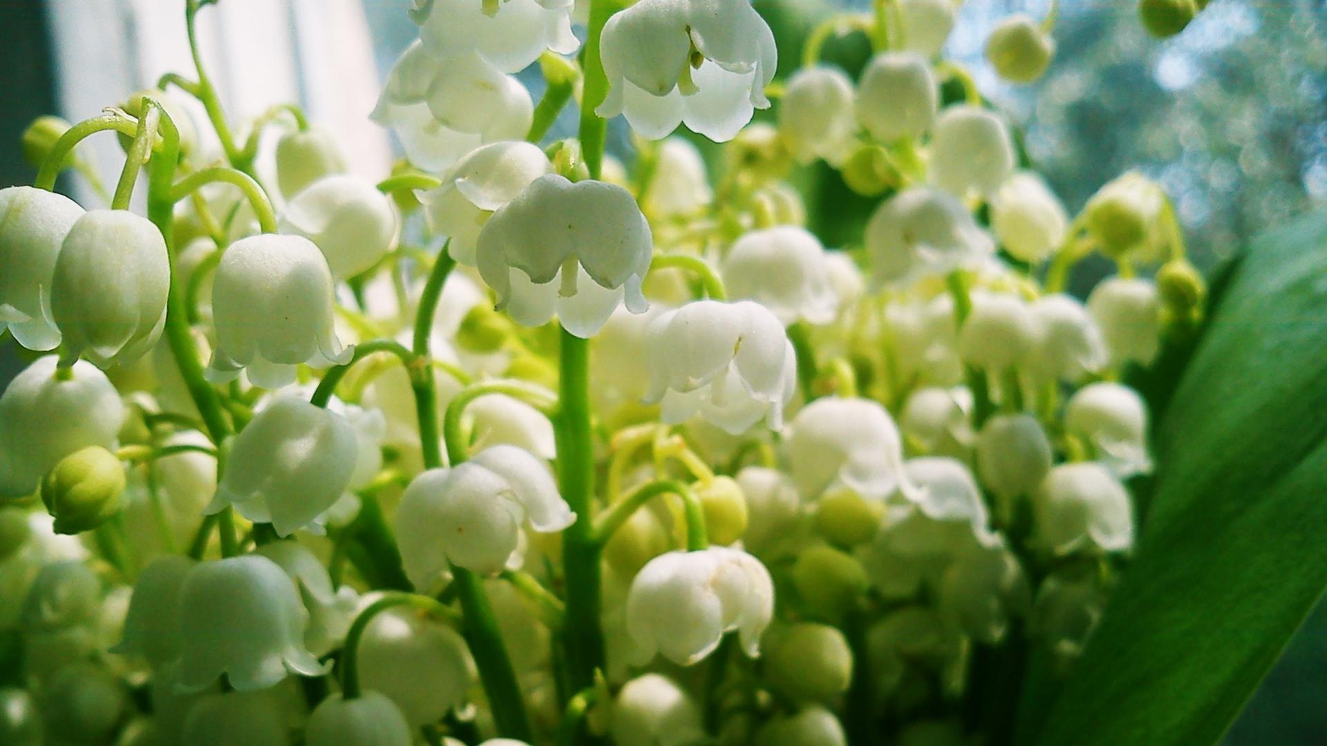 すずらんの香りは「聖なる香り」と言われ、好きな人にふりかけると自分に振り向いてくれるという言い伝えもあります。