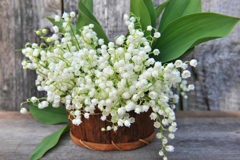 すずらんは、「純潔」や「純粋」など、汚れのないきれいな印象を与える花言葉をもっています。